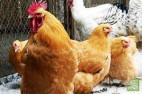 Саудовская Аравия ввела временный запрет на ввоз российского мяса птицы и яиц из-за распространения в ряде областей России птичьего гриппа H5